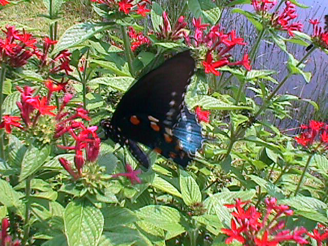 PipevineSwallowtail.jpg (178401 bytes)